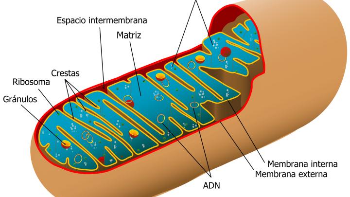 Qué son las mitocondrias
