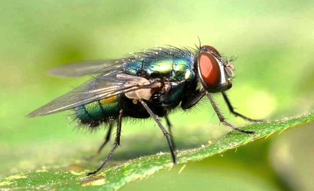 Larvas de moscas y su uso para curar heridas crónicas