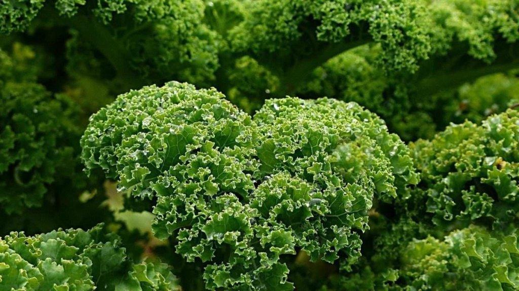 La col rizada: conoce el origen y las contraindicaciones del kale